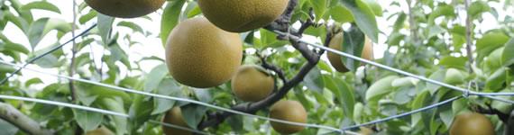 果樹共済 バナー