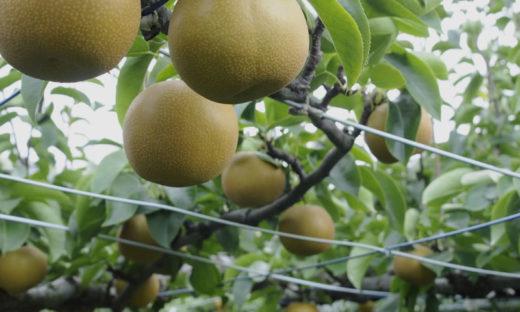 果樹共済 ヘッダー画像
